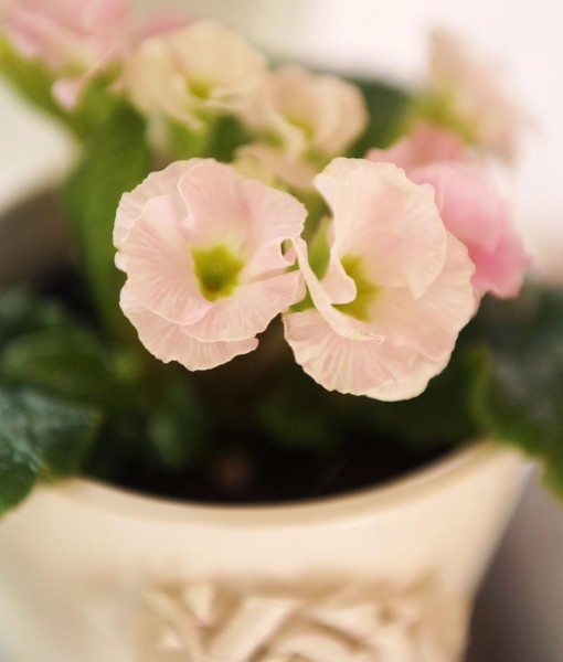 Gift Occasion – Spring Time Double Primrose