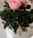 Gift Occasion - Mini Rose